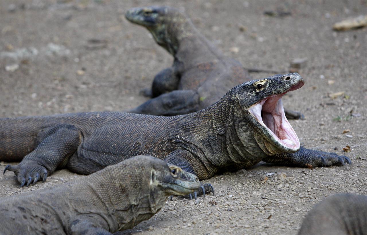 Komodo dragon bites Singaporean tourist in Indonesia | AM