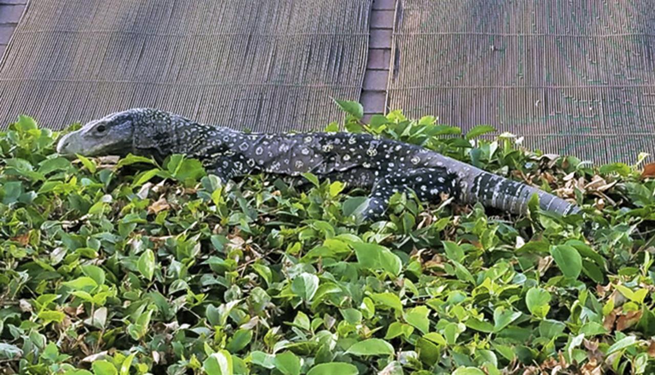 4 foot long lizard found in southern california backyard