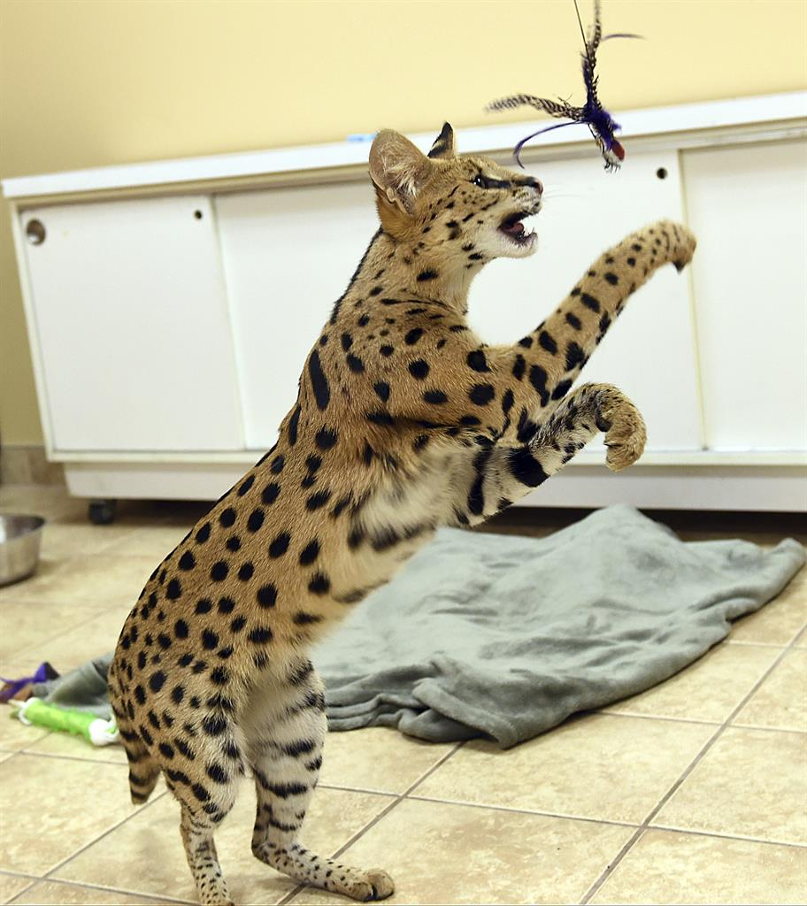 Big cheetah-like feline captured in Pennsylvania | AM 1590 The