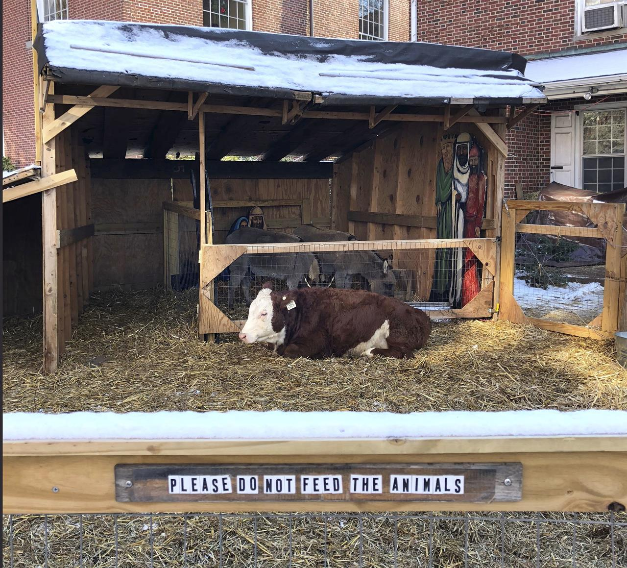 holy cow blessed bovine for the A cow in philadelphia apparently wanted to be away from the manger, as it escaped twice thursday morning from a church's live nativity scene.