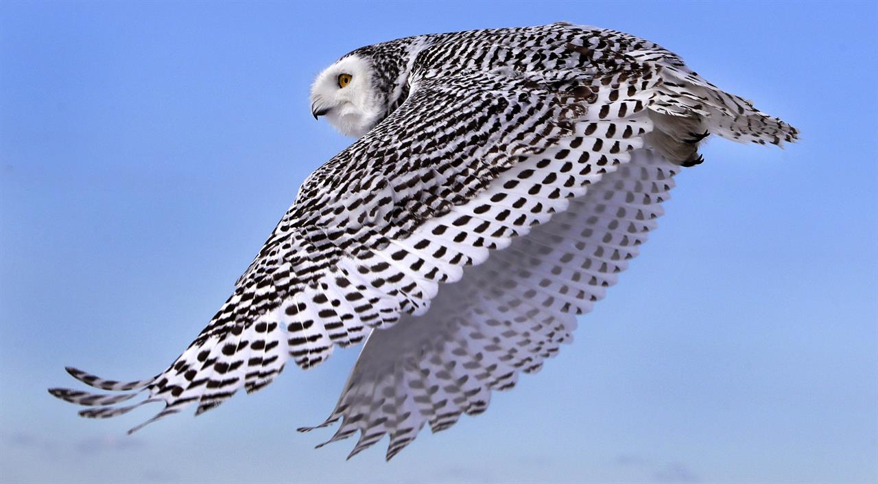 Snowy Owl Numbers Far Lower Than Once Thought Am 1190