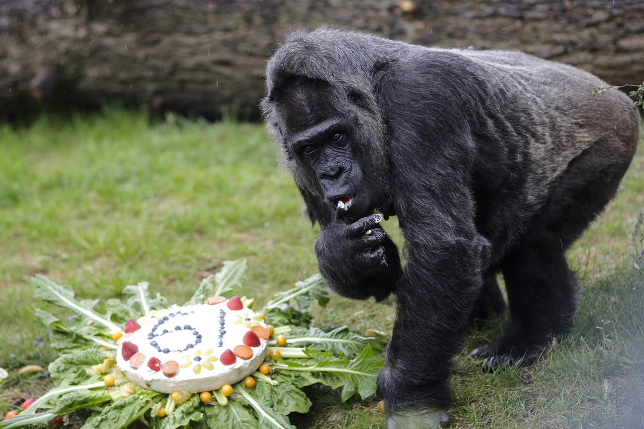 The Female Gorilla Fatou Eats A Rice Cake To Celebrate Her 61st Birthday At Zoo In Berlin Germany Friday April 13 2018 According Officials