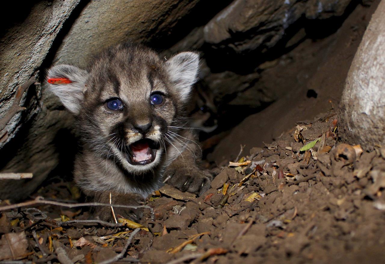 4 new mountain lion kittens found in California mountains