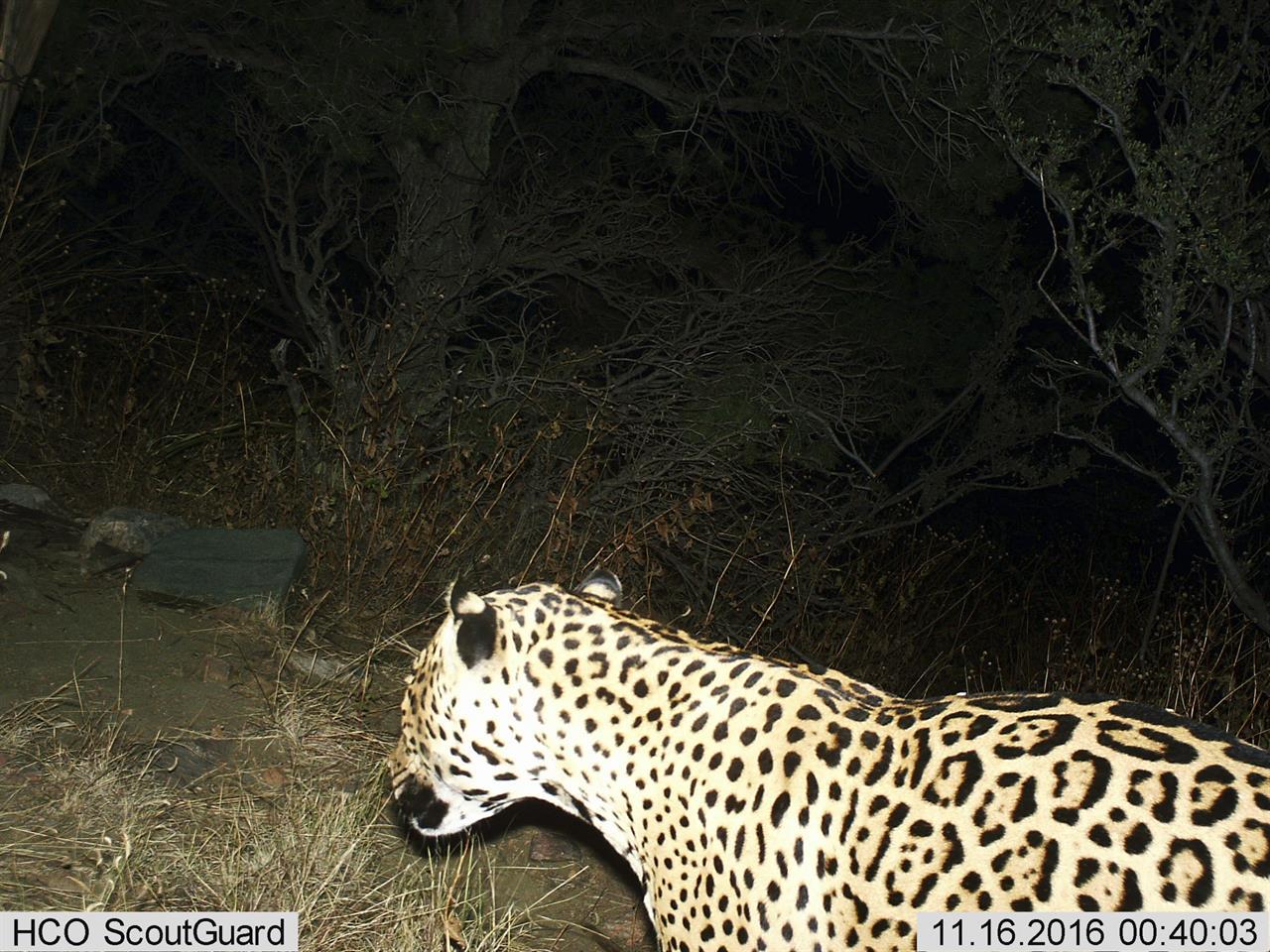 Rare Jaguar Seen In Arizona Mountains Feared Dead ...