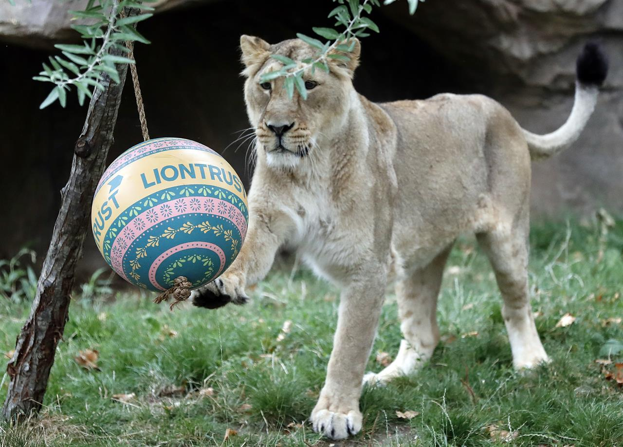 377ef3c157 Lions at London Zoo celebrate World Lion Day in style