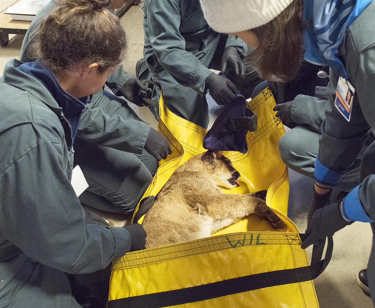 Mountain Lion Cub Burned In California Fire To Be Confined on Veterinary Hospital Surveys