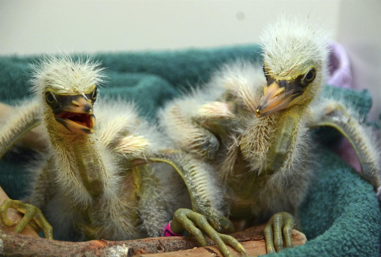 Baby herons, egrets rescued after tree splits in California
