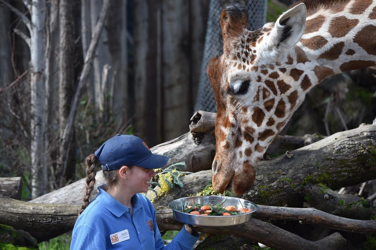 Sacramento Zoo temporarily closed after giraffe died | The ANSWER