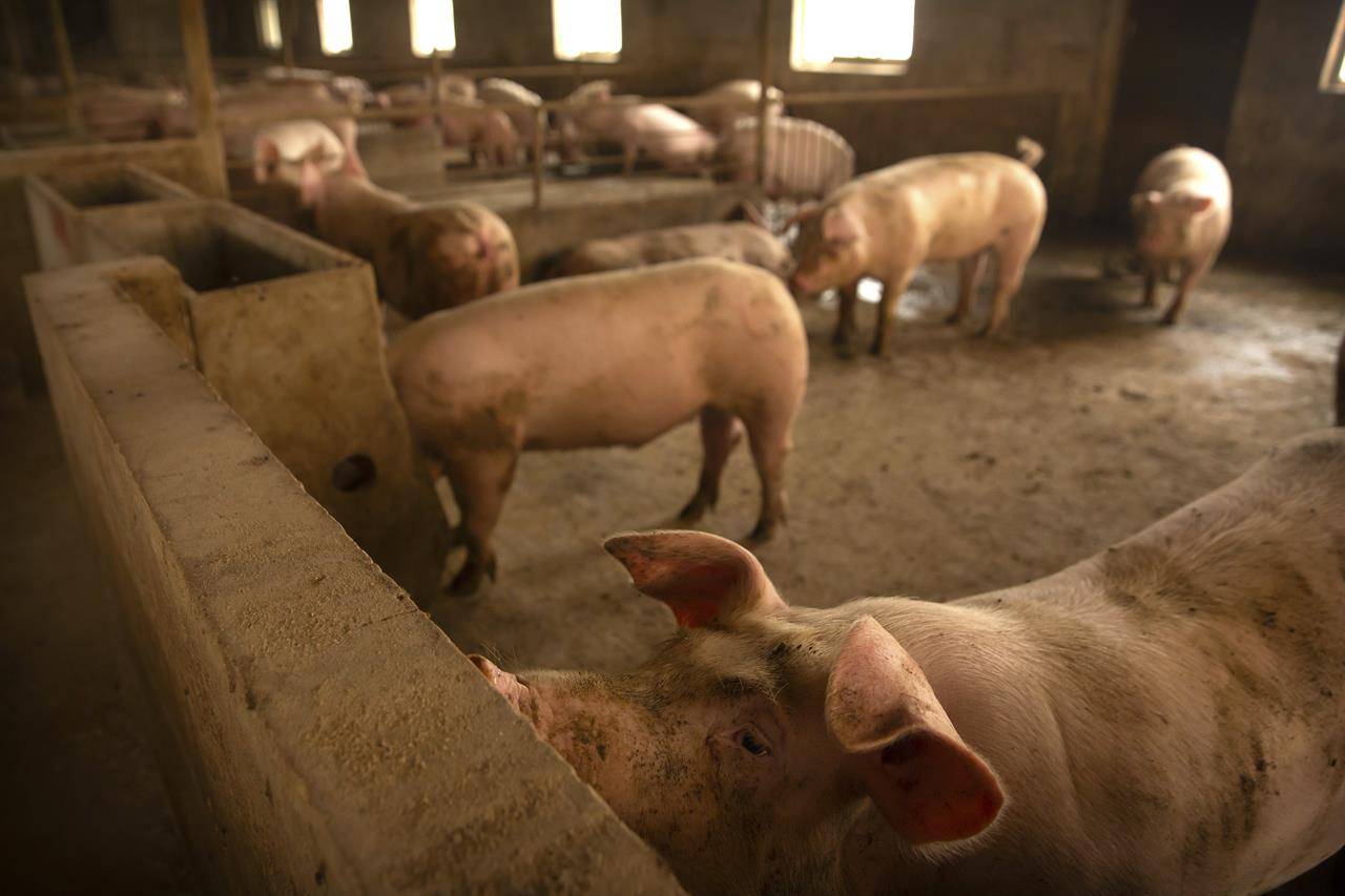 China to boost pork output as swine fever drives up prices
