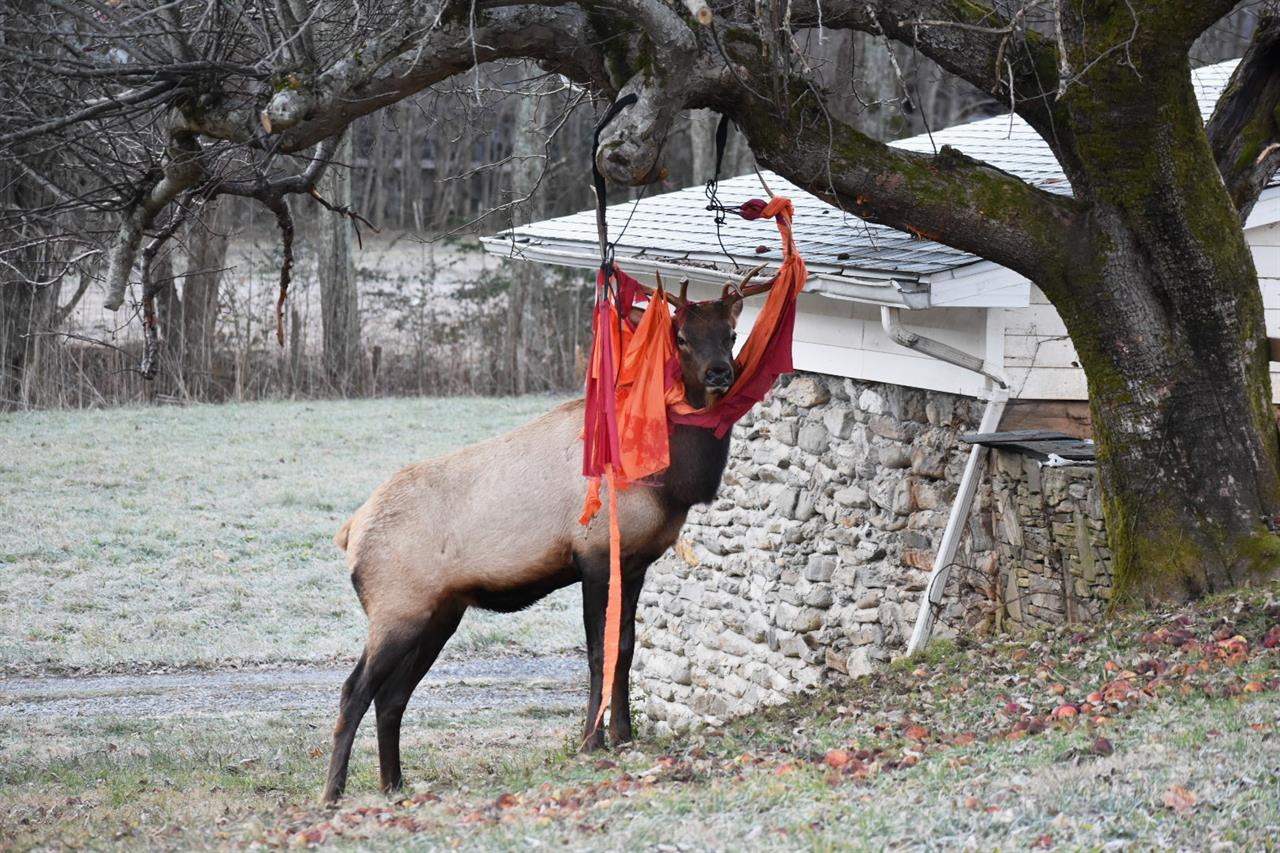 'Thanksgiving antics' NC elk gets tangled up in red hammock