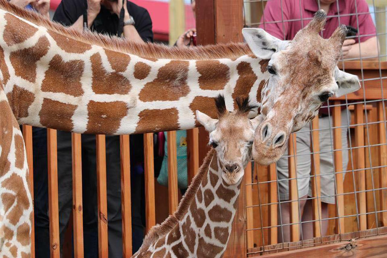 Oh Baby April The Giraffe Is About To Give Birth Again The