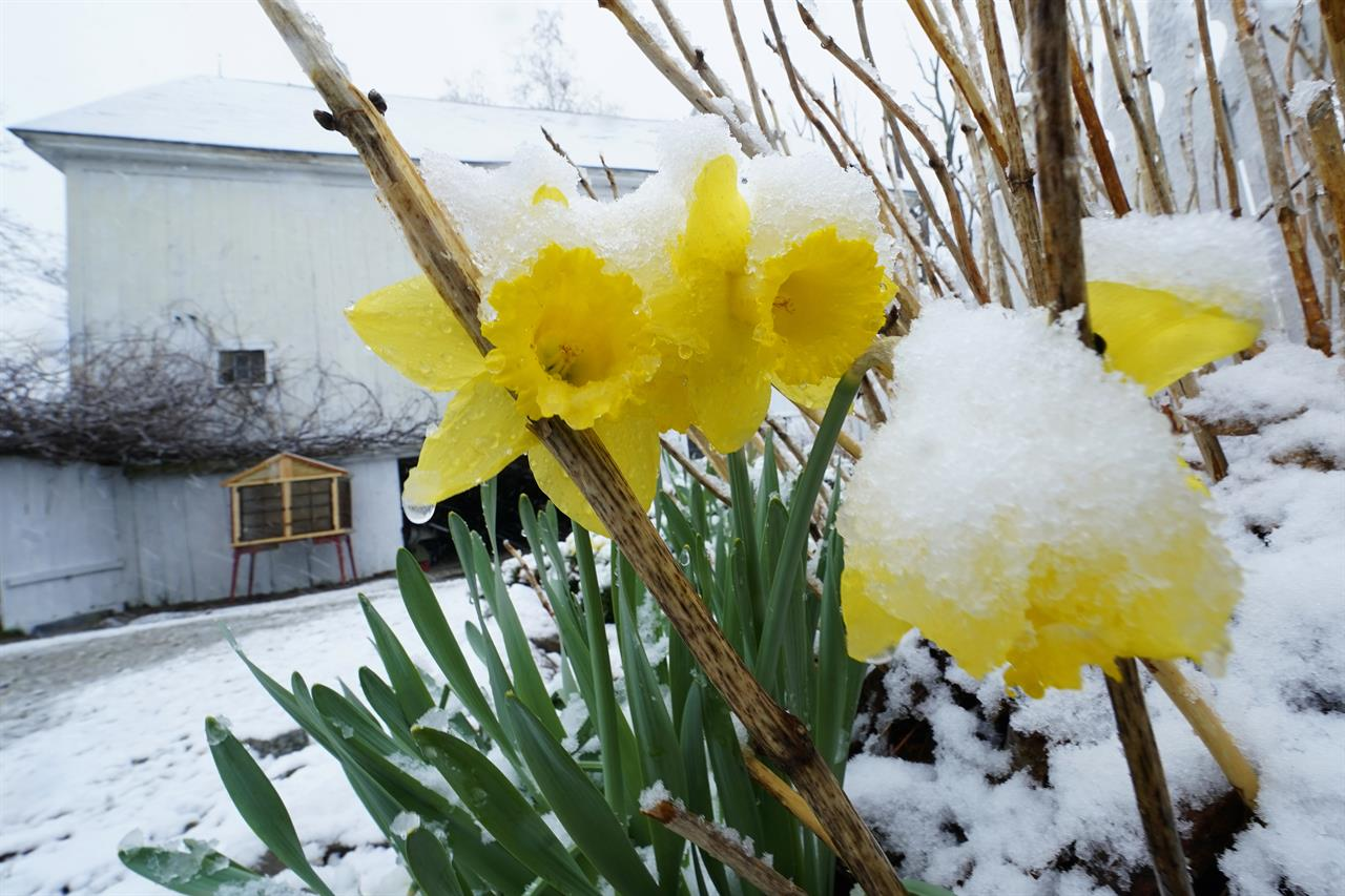 Snow covers daffodils during a spring storm, Friday, April 16, 2021, in in East Derry, N.H. Some portions of New England received about a half a foot of snow from the storm. (AP Photo/Charles Krupa)
