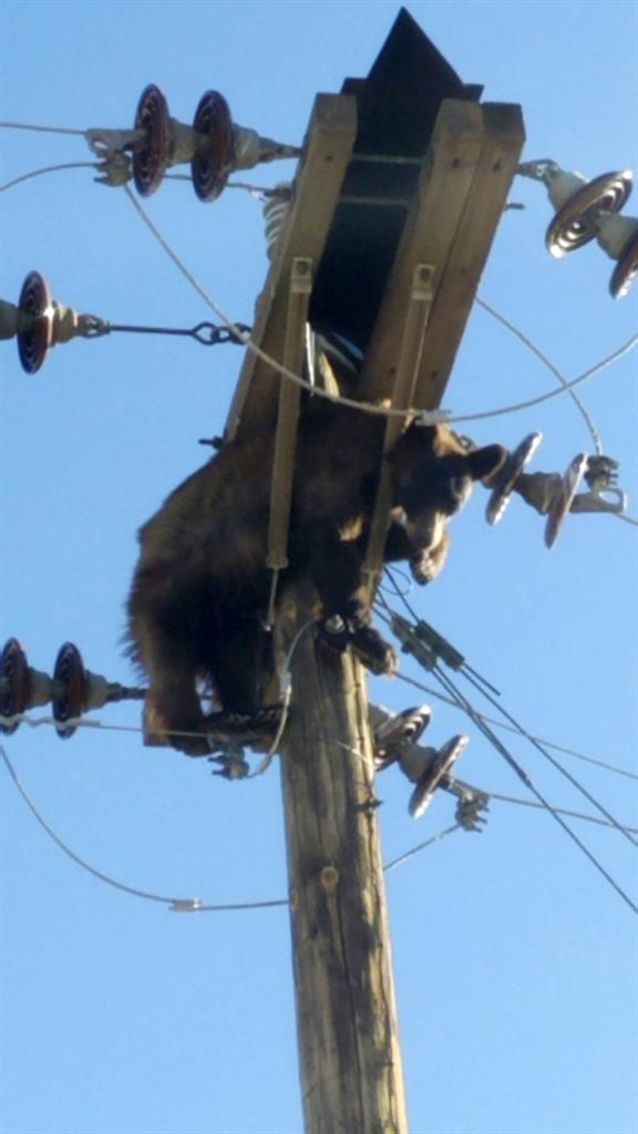 This photo provided by Werner Neubauer shows a bear tangled in power pole wires in Willcox, Ariz., Monday, June 7, 2021. (Courtesy of Werner Neubauer via AP)