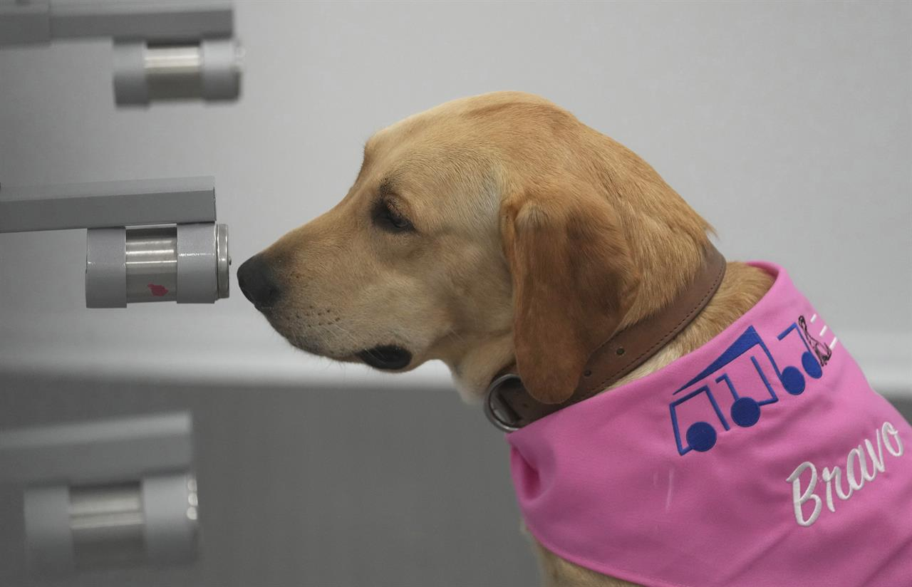 Bravo, a Labrador Retriever, sits in front of a sample of human sweat after detecting the COVID-19 coronavirus at a mobile canine unit in Bangkok, Thailand, Thursday, June 17, 2021. Thailand has deployed a canine virus detection squad to help provide a fast and effective way of identifying people with COVID-19 as the country faces a surge in cases, with clusters found in several crowded slum communities and large markets. (AP Photo/Sakchai Lalit)