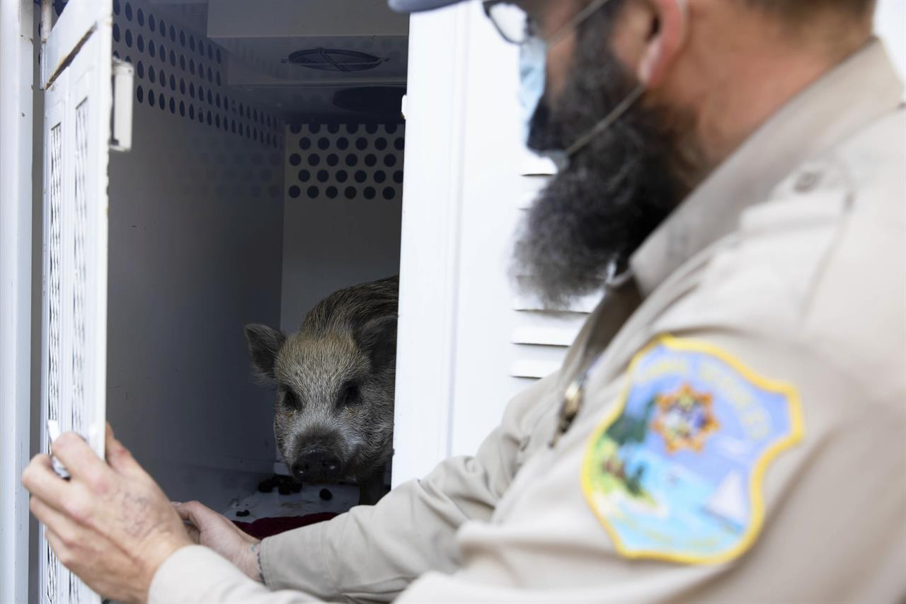 """Santa Cruz Animal Shelter Officer Todd Stosuy opens the door to his truck to show a pig that was evacuated at a nearby home in Watsonville, Calif., on Tuesday, Jan. 19, 2021. """"These guys were in the direct line of the fire,"""" Stosuy said. """"They had to be evacuated immediately."""" (Randy Vazquez/Bay Area News Group via AP)"""